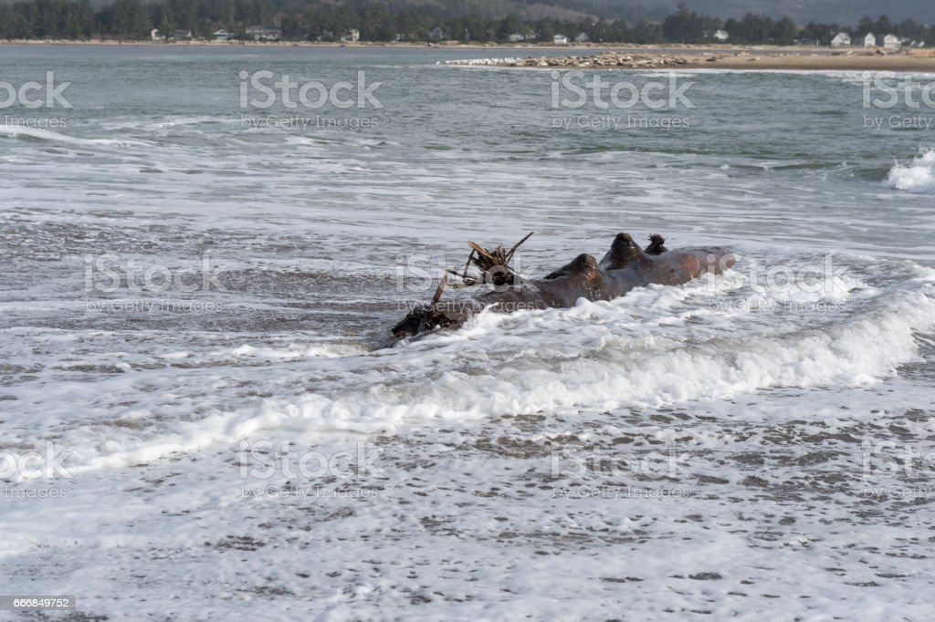 Oregon Coast Beach with Tree Log in Waves Dangerous stock photo