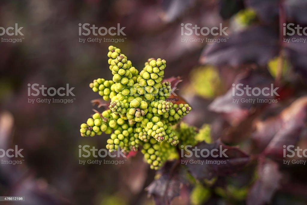 oregon grape flowers stock photo