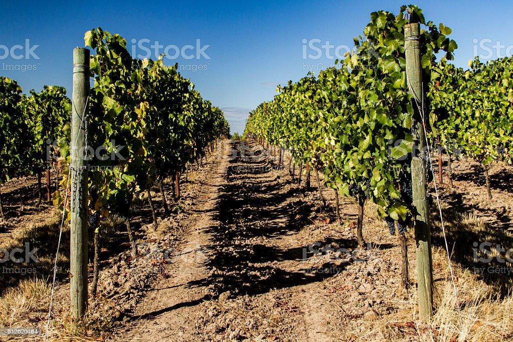 Oregon Pinot Noir Vineyard stock photo