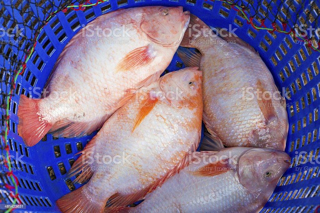 Oreochromis niloticus royalty-free stock photo