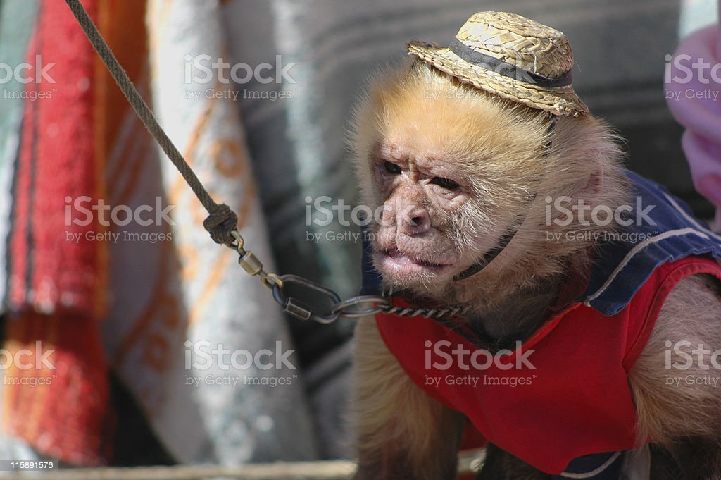 organ grinder's monkey stock photo