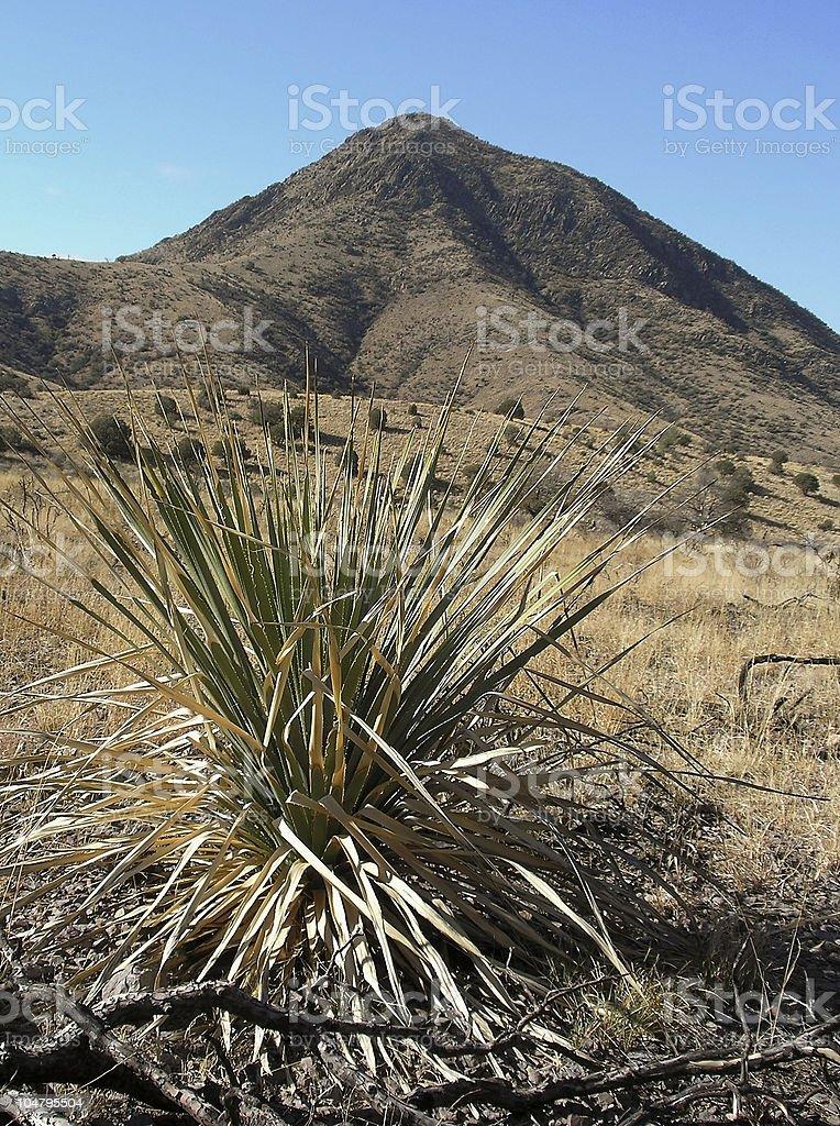 Organ Mountain Yucca stock photo