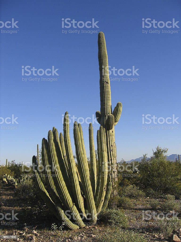 Organ pipe and saguaro cacti royalty-free stock photo
