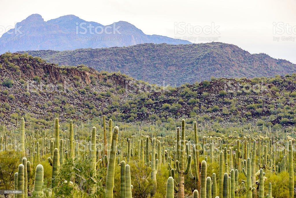 Organ Pipe Cactus National Monument stock photo