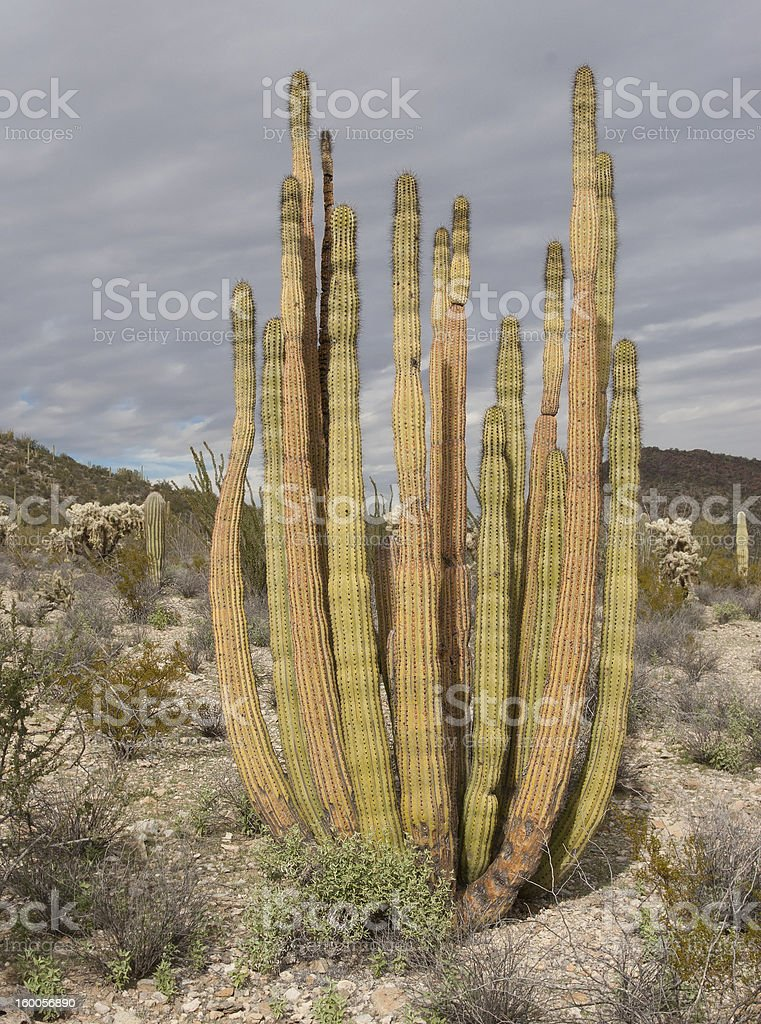 Organ Pipe Cactus royalty-free stock photo