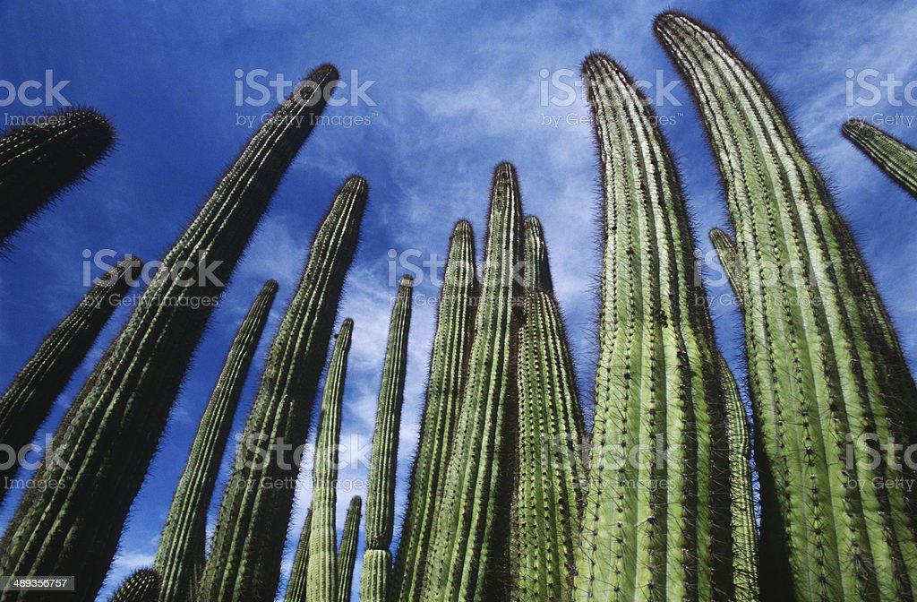Organ Pipe Cactus royalty-free stock photo
