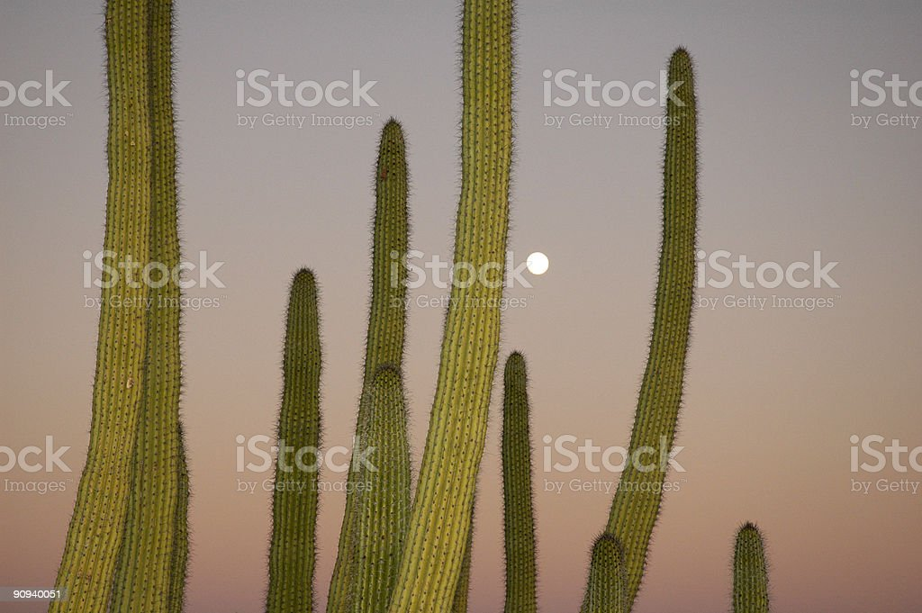 Organ Pipe Cactus with Moonrise royalty-free stock photo
