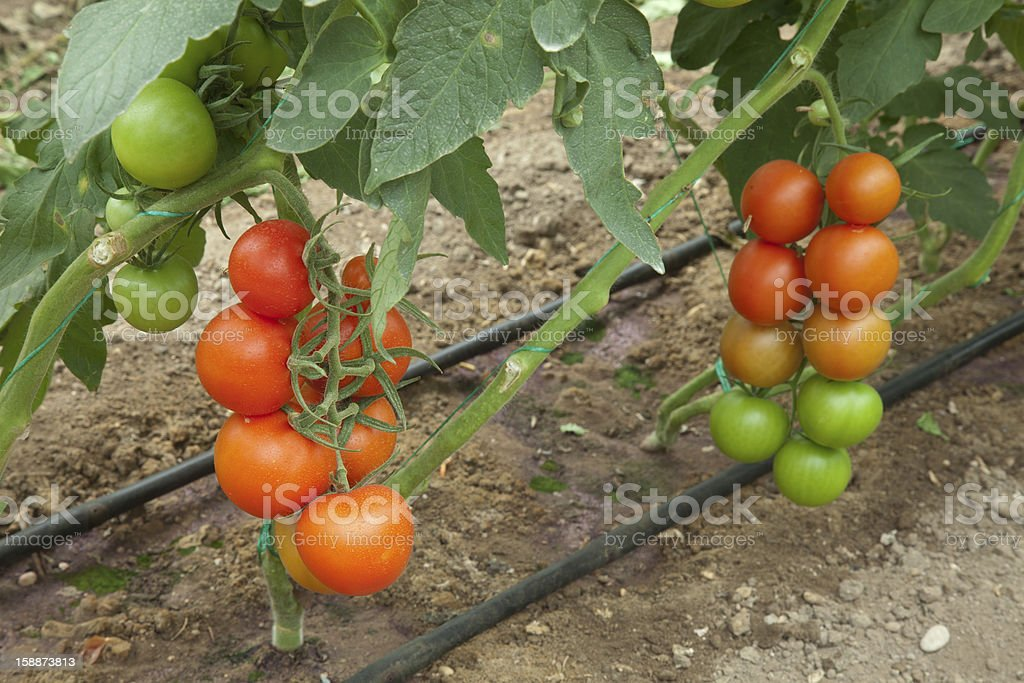 organic agriculture royalty-free stock photo