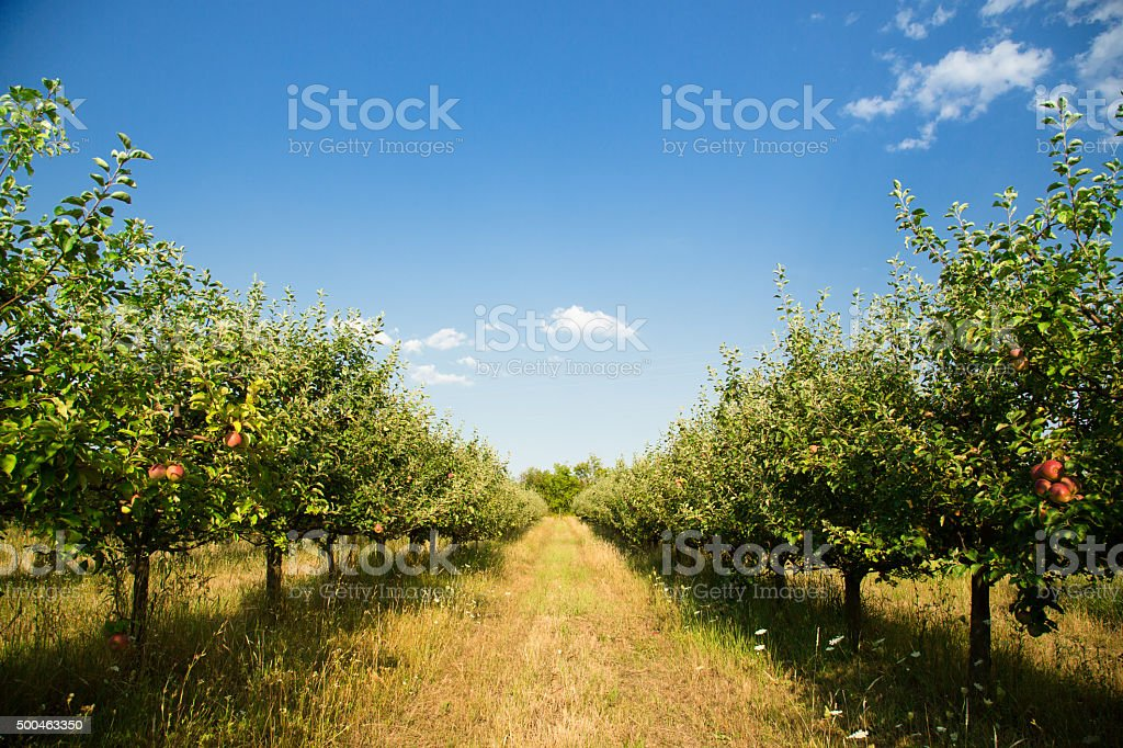 Organic Apple orchard stock photo