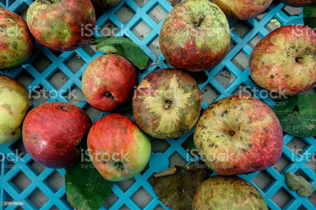 Organic apples at Farmers Market stock photo