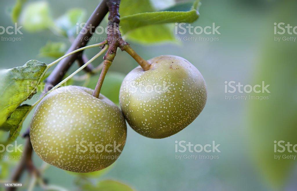 Organic Asian Pears stock photo