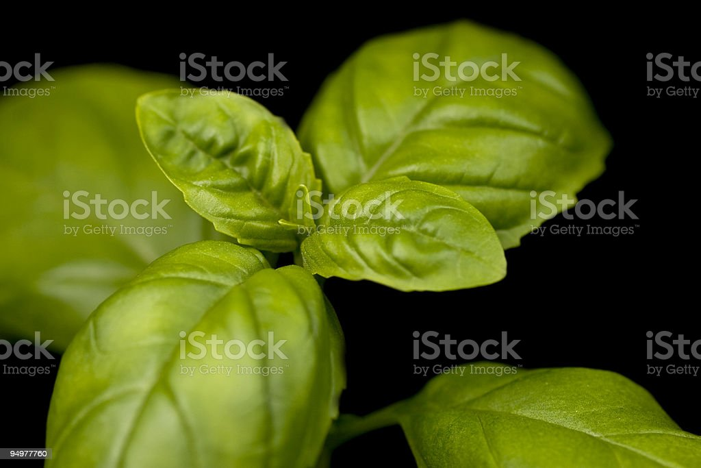 Organic Basil Isolated royalty-free stock photo
