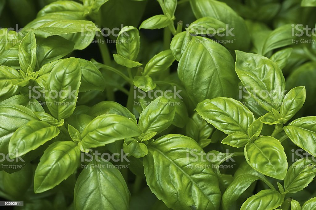 Organic Basil stock photo