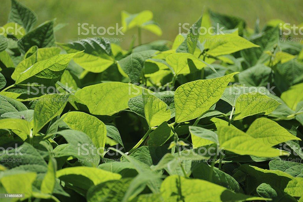 Organic bean foliage royalty-free stock photo