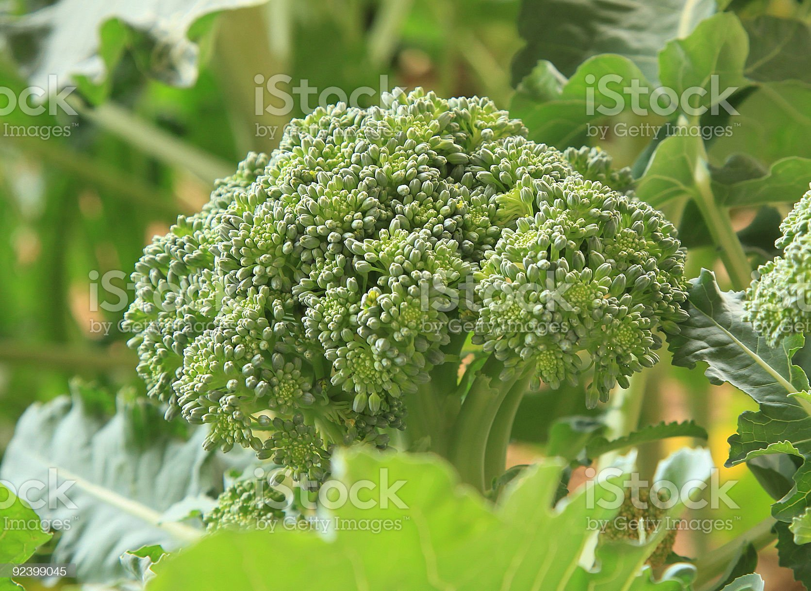 Organic Broccoli royalty-free stock photo