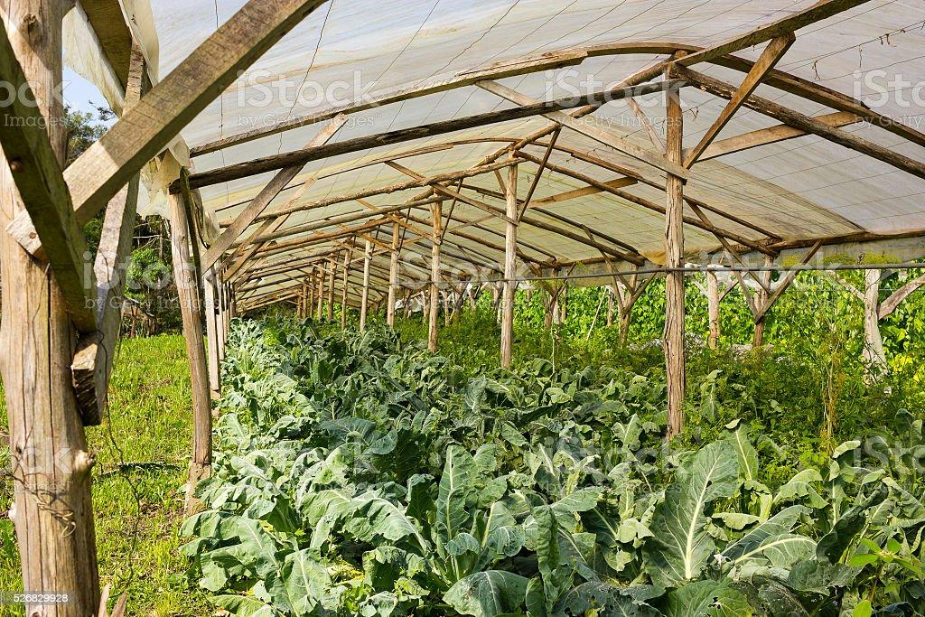 Organic Cauliflower growing in a very simple plant nursery green stock photo