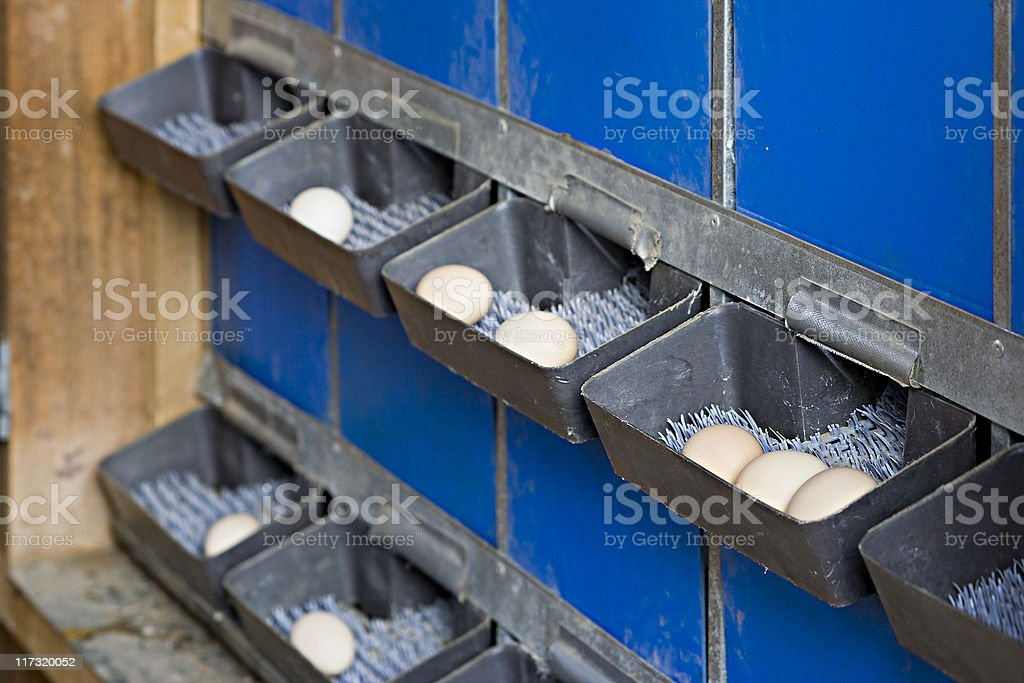 Organic Chicken Farm stock photo