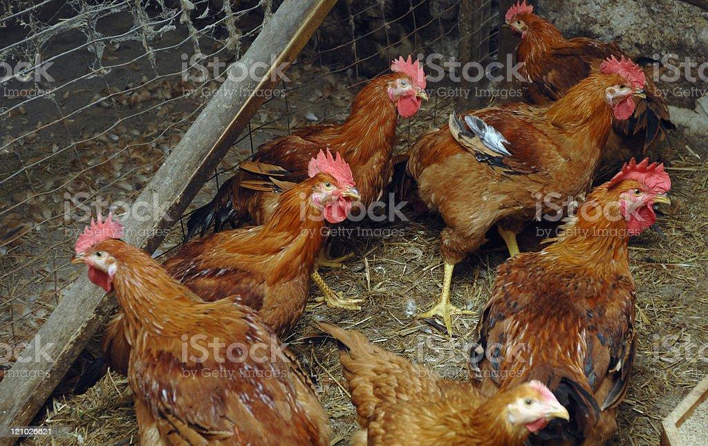 Organic chickens stock photo
