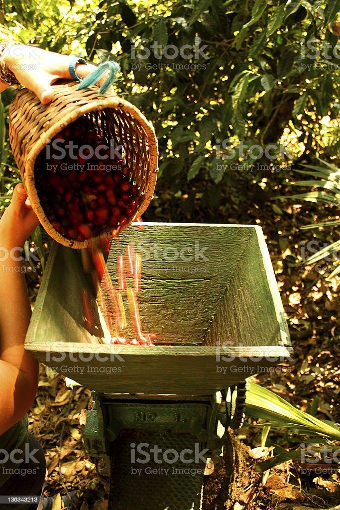 organic coffee beans. royalty-free stock photo