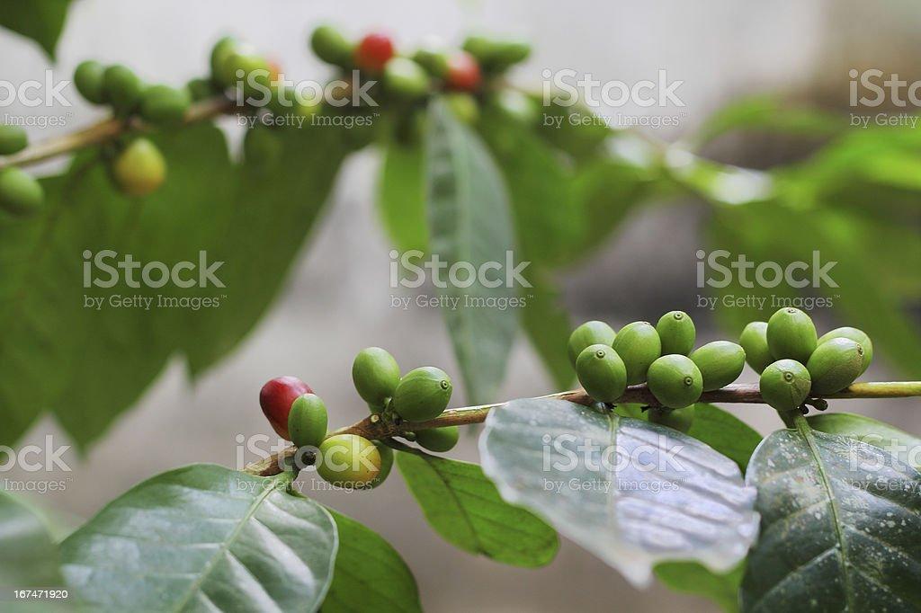 Organic Coffee Beans royalty-free stock photo