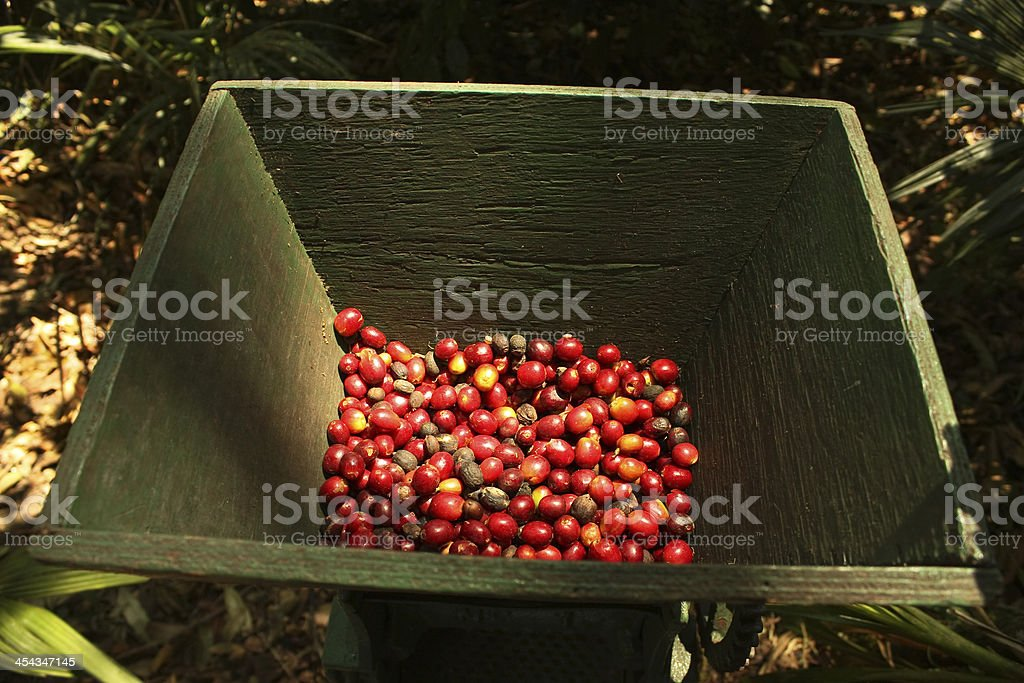 organic coffee beans. royalty-free stock photo
