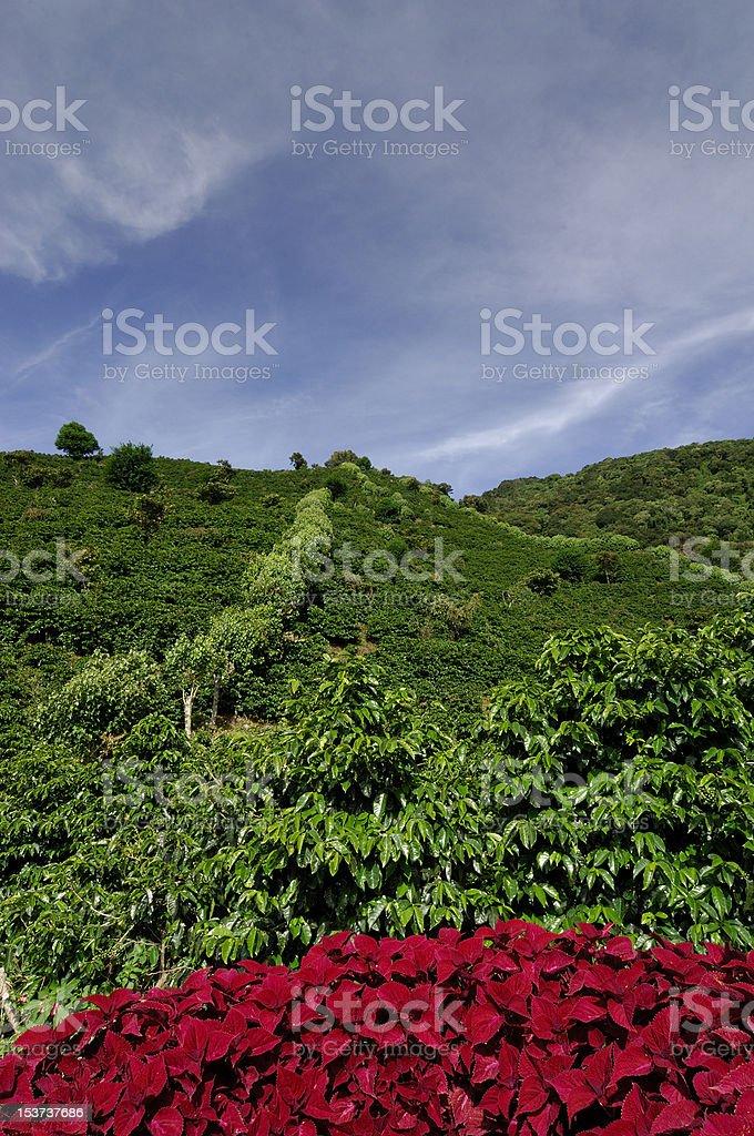 Organic coffee farm royalty-free stock photo