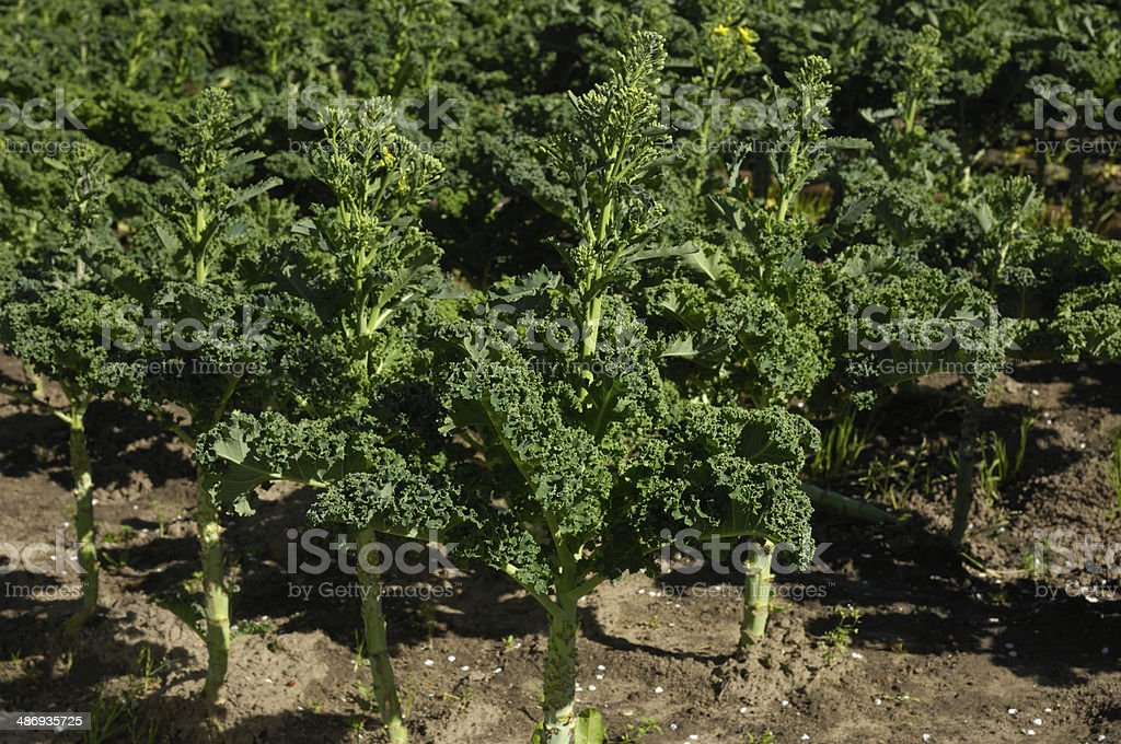 Organic Curly-leaf Kale Growing in Field royalty-free stock photo