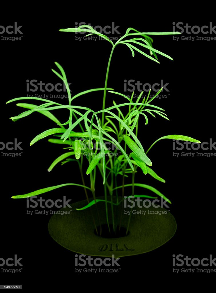 Organic Dill Seedling royalty-free stock photo