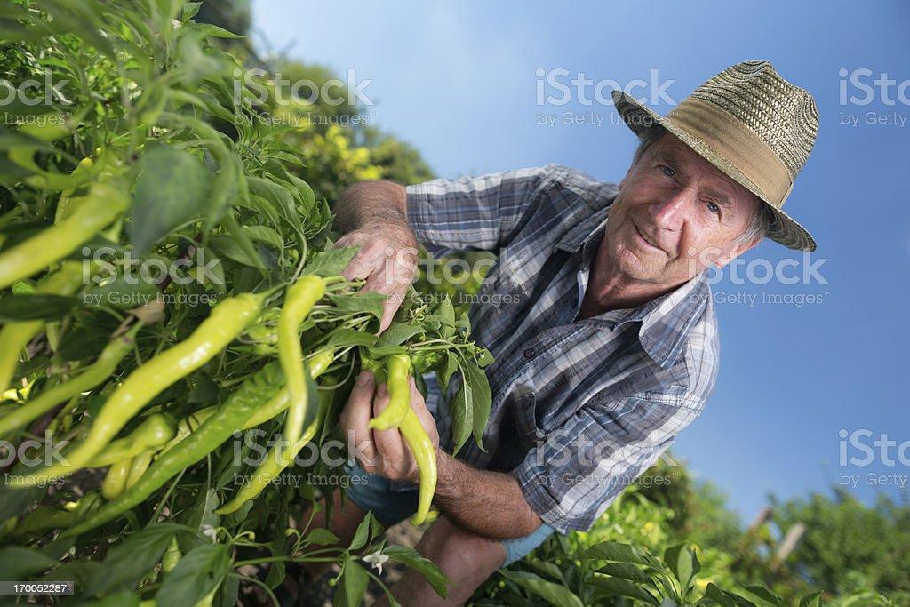 organic farmer chilli field royalty-free stock photo