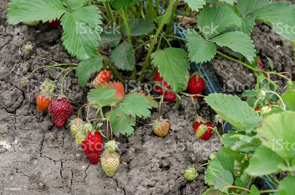 Organic farming of strawberry and technology for irrigation stock photo