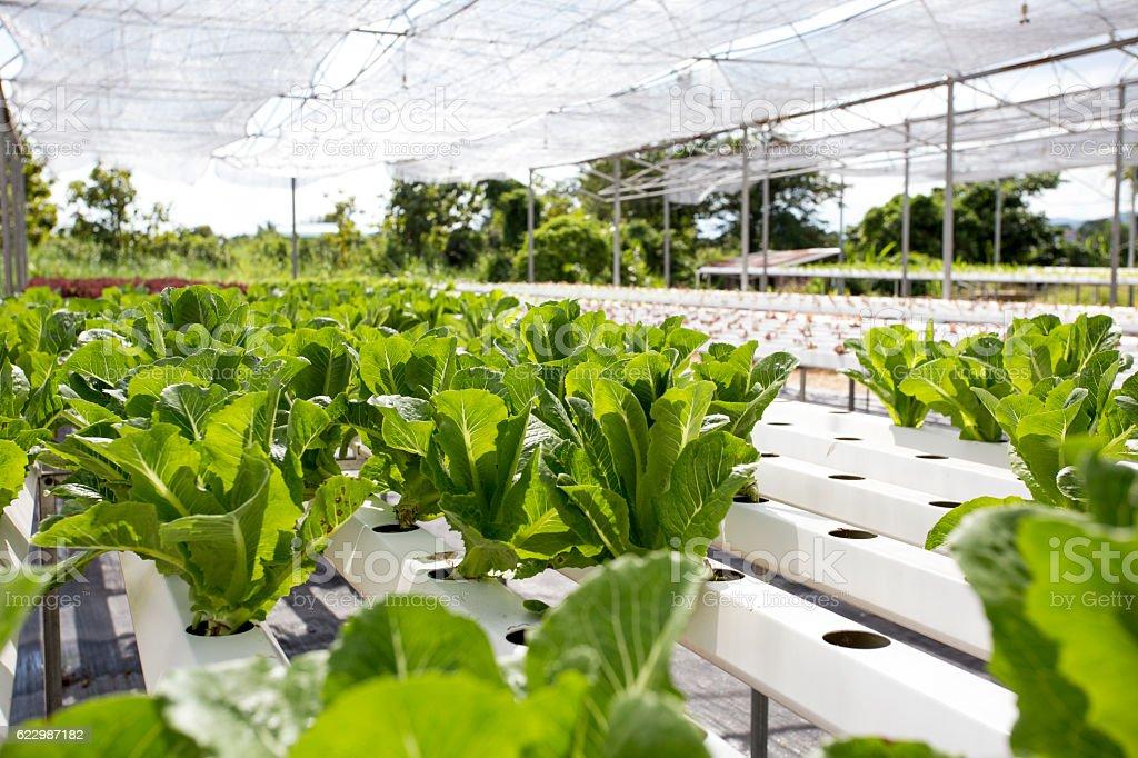 Organic Farming (Hydroponic vegetable) stock photo
