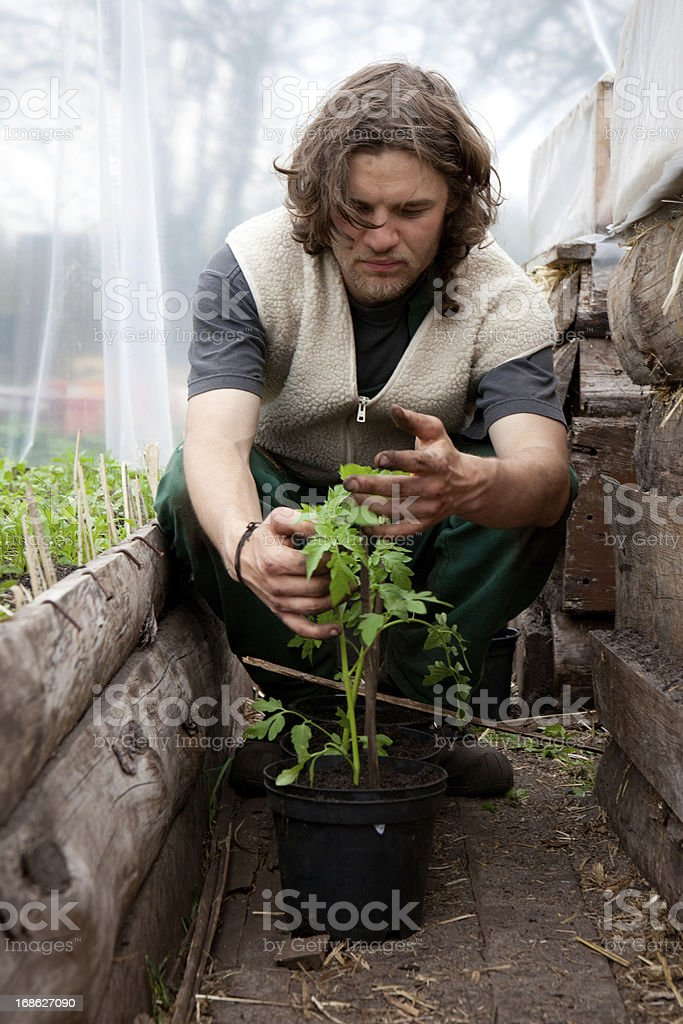 Organic farming: young farmer with tomato plants in greenhouse royalty-free stock photo