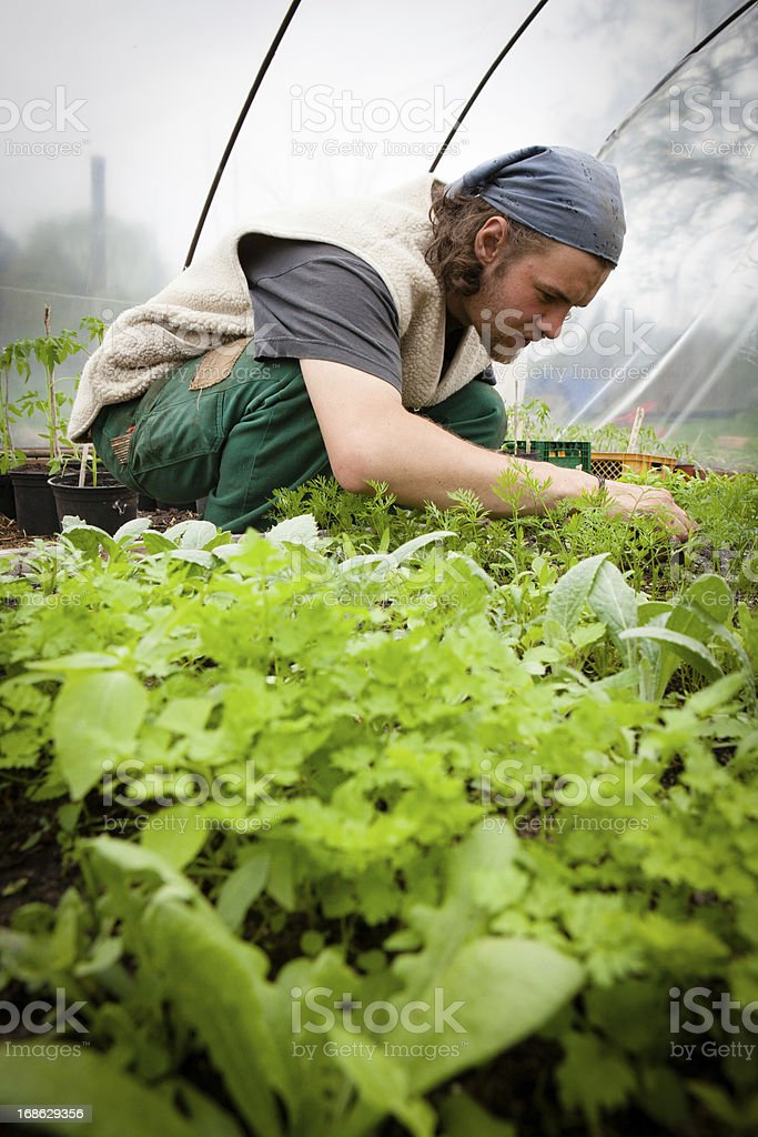 Organic farming: young farmer works at tomato plants in greenhouse stock photo