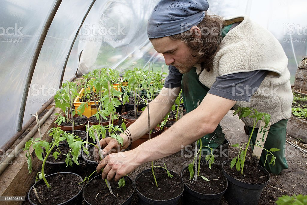 Organic farming: young farmer works at tomato plants in greenhouse royalty-free stock photo