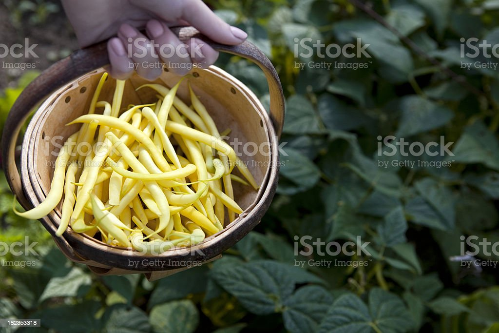 Organic French Rocquencourt Yellow Bean Harvest stock photo