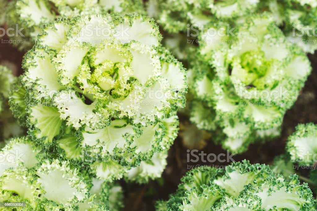 Organic garden lettuce Lollo Bionda stock photo