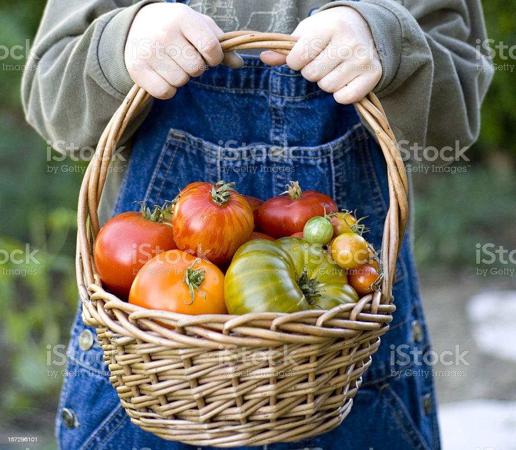 Organic Gardening, Child Gardener Holds Basket of Vegetables & Fruit Tomatoes royalty-free stock photo
