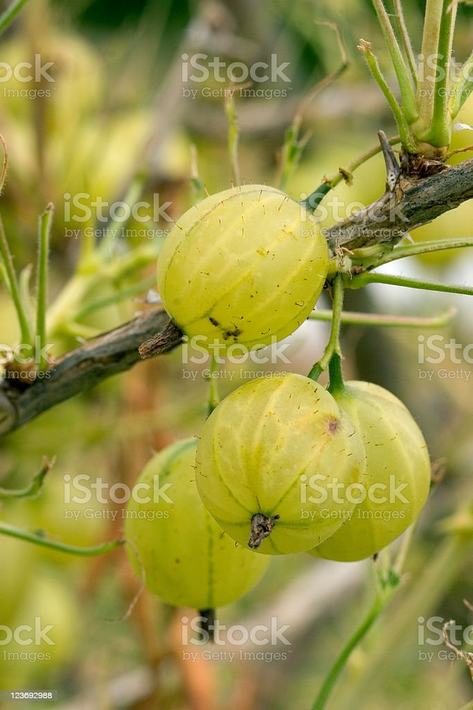 Organic Gooseberries royalty-free stock photo