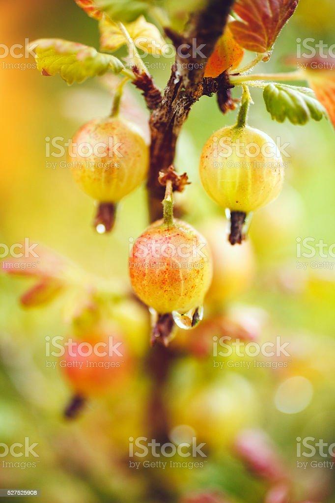 Organic gooseberries stock photo