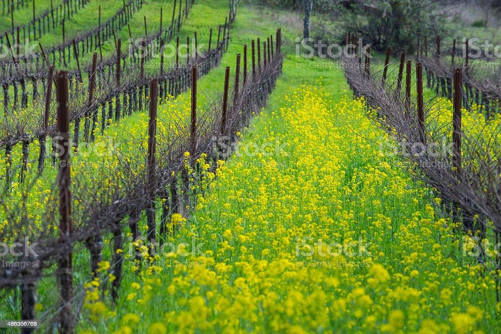Organic grape vineyard in the spring stock photo