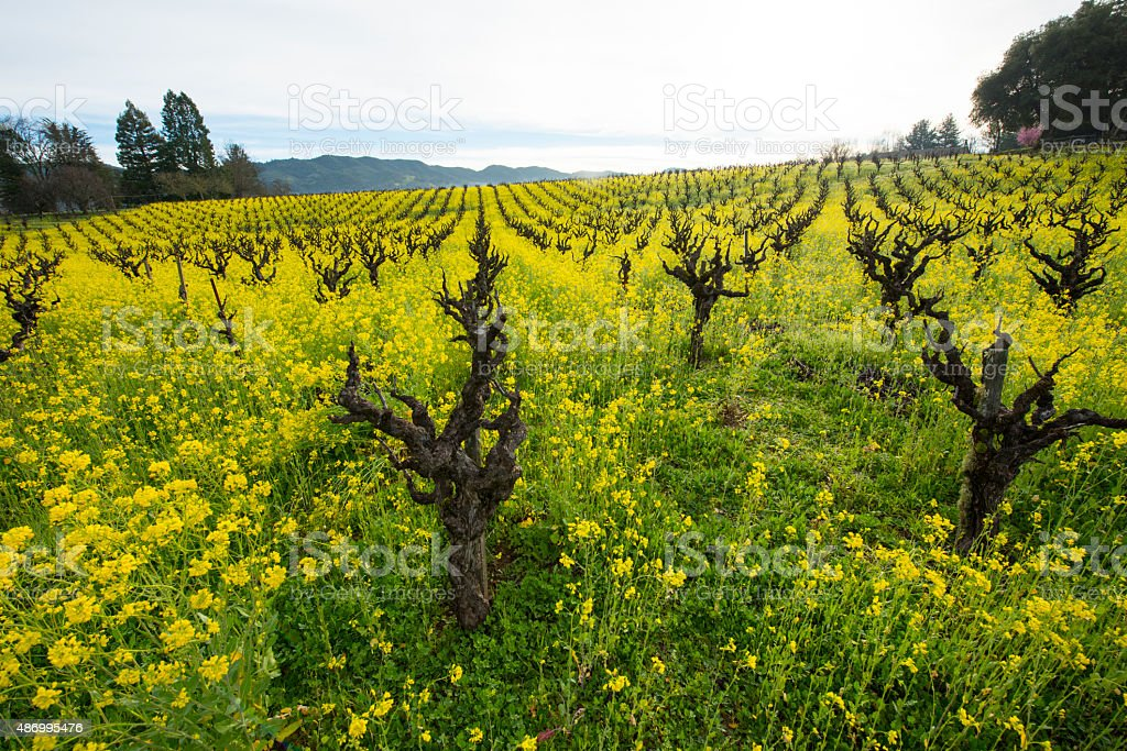 Organic grape vineyard in the spring stock photo