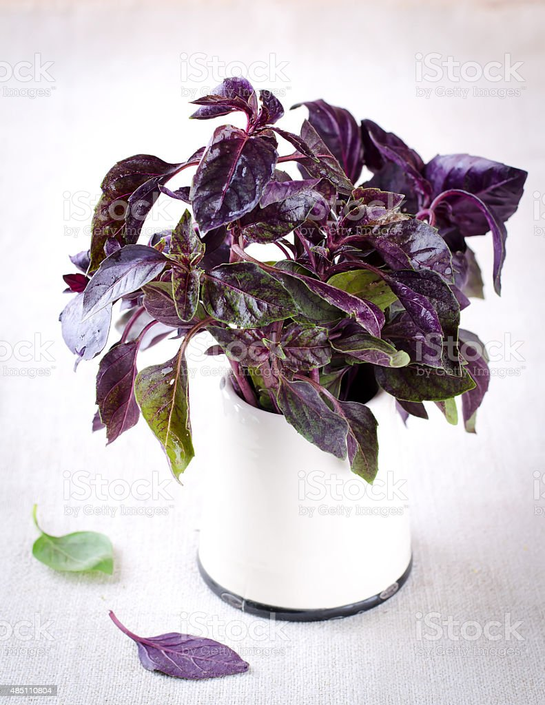 Organic green and violet basil leaves stock photo