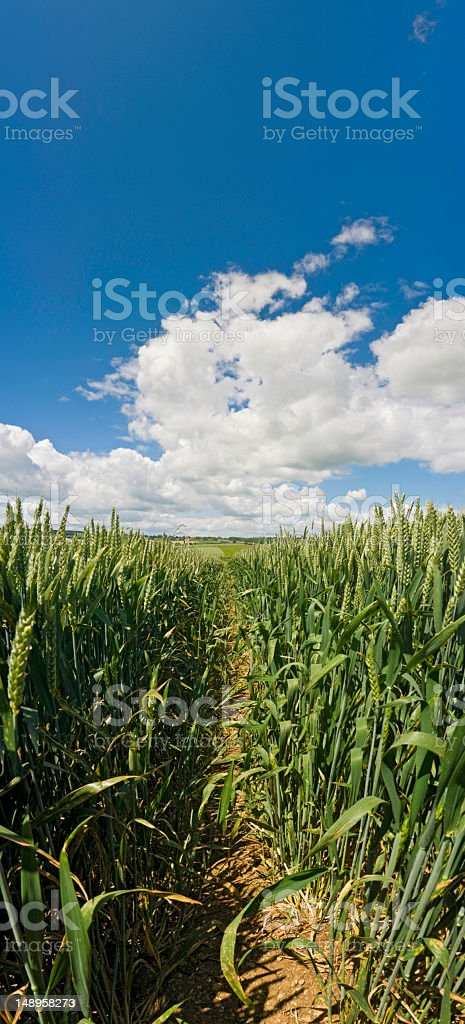 Organic green crop big sky vertical royalty-free stock photo