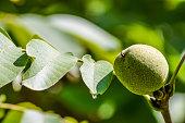 organic green walnut on a twig