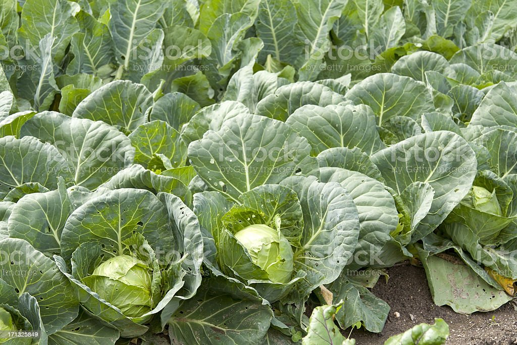 Organic Head Cabbage stock photo