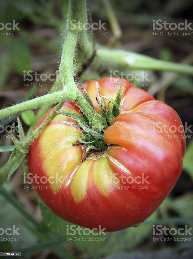 Organic Heirloom Tomato royalty-free stock photo