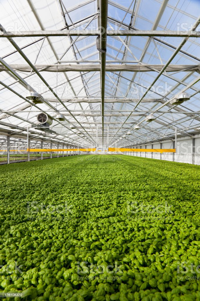 Organic herbs in greenhouse. royalty-free stock photo