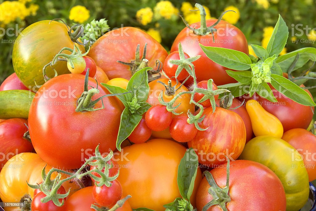 Organic Homegrown Fresh Basil & Summer Produce, Heirloom Tomatoes Vegetable Harvest stock photo