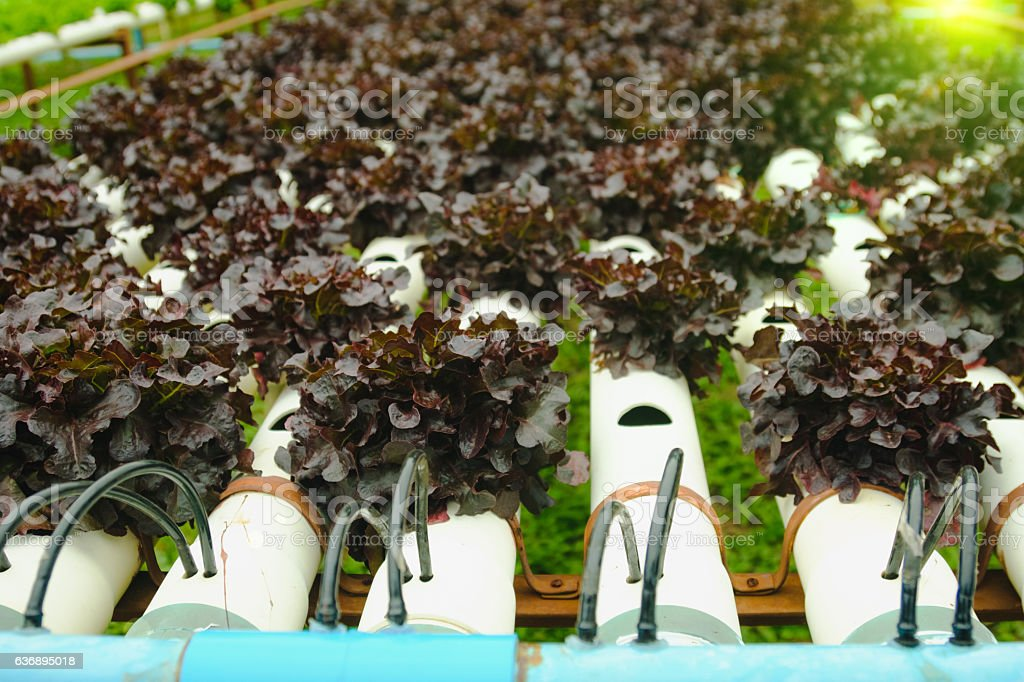 Organic hydroponic vegetable cultivation farm. stock photo