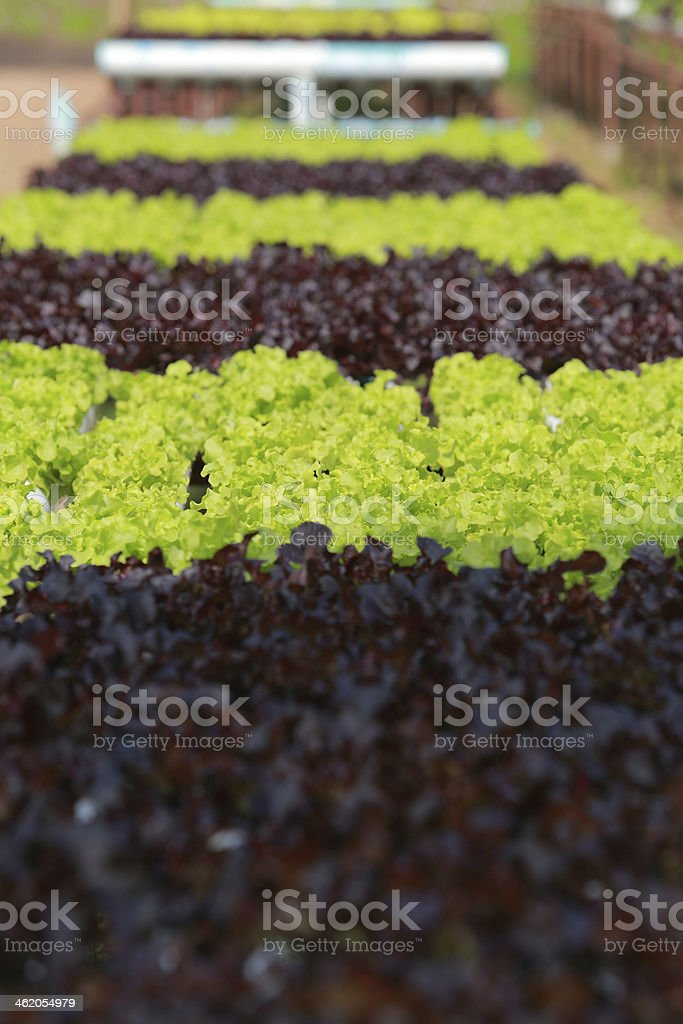 Organic Hydroponic vegetable farm 26 royalty-free stock photo